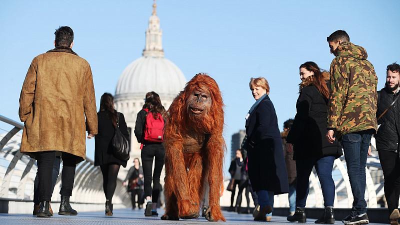Iceland orangutan