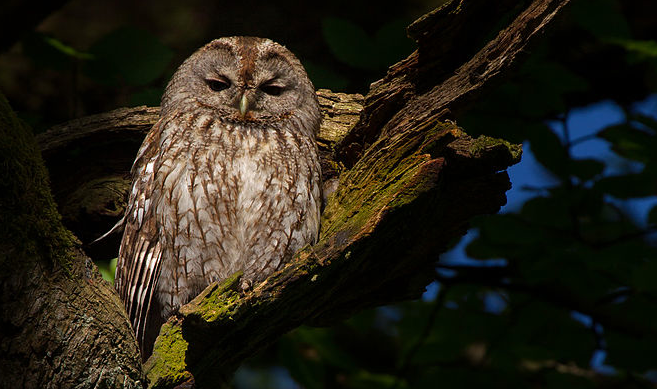 A tawny owl (not likely to be Lucky)